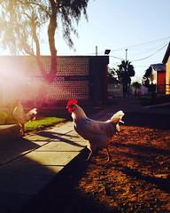 College Rooster..!  #rooster #gallo #universidad #chile #arica #facultad (Adrin Ernesto Zea Berolatti) Tags: rooster gallo universidad chile arica facultad