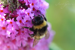 Bumble bee in pink (Foto-Aestheticus) Tags: bumblebee bumble bee flower blossom pink outside outdoor nature naturephotography garden sun sunlight light summer summervibes work animal insect plant canon canonphotography flowers macro macrophotography bremerhaven