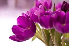 Cerise (EvasSvammel) Tags: explore tulip blomma cerise tulpan 365foton