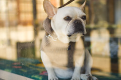 French Bully [Explored] (boingyman.) Tags: sf sanfrancisco dog window canon frenchbulldog bully 35l t2i boingyman