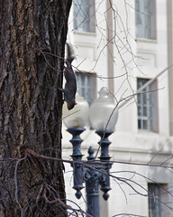 Tree Walker (Mondmann) Tags: usa tree animal america mammal washingtondc squirrel unitedstates mondmann pentaxk5