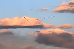 V (ste.it) Tags: sky birds clouds flying nuvole formation uccelli volo ibis v cielo ibises formazione