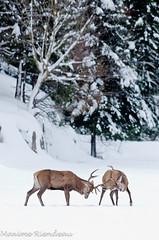 DSC_0753 (Maxime Riendeau) Tags: winter snow hiver neige elk parcomega wapiti omegapark parcomga parcomegahiver201213