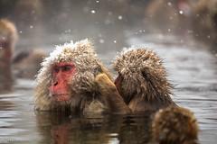 Grooming (shakyphoto) Tags: snow cute animal animals japan japanese monkey asia nagano macaque macaques japanesemacaque snowmonkeys yamanouchi shakyphoto stephenlim