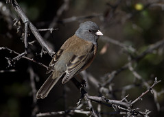 Dark-eyed Junco (Explore) (Eric Gofreed) Tags: arizona junco sedona darkeyedjunco gambelsquail vvranch yavapaicounty pinksided