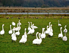 a lot of swans . (Franc Le Blanc .) Tags: birds animals lumix ngc meadow panasonic swans rest hibernation