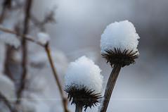 Snow Stars - Explore (Light Echoes) Tags: winter plants snow macro garden nikon pennsylvania explore snowfall d90 2013