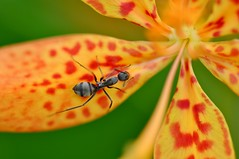 Return To The Heart (Anna Kwa) Tags: macro art nature singapore ant leopardlily blackberrylily belamcandachinensis parkconnector punggulpark