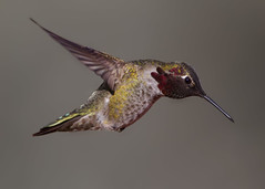 Anna's Hummingbird (Explore) (Eric Gofreed) Tags: arizona backyard hummingbird sedona annashummingbird yavapaicounty