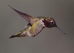Anna's Hummingbird (Explore) (Eric Gofreed) Tags: arizona backyard hummingbird sedona annashummingbird yavapaicounty