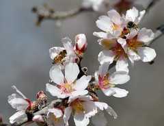 California Almonds 2013 ~ The pollinators (champbass2) Tags: california bees orchard almonds beehives honeybees pollination whiteblossoms pollinator almondorchard beemacro workerbees almondblossoms californiaalmonds californiaagriculture champbass2 treesinaline californiaalmondblossoms