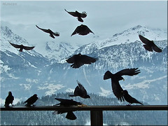The Birds ... (ruschi_e) Tags: schnee winter snow mountains alps birds fog clouds schweiz switzerland nebel wolken berge alpen vgel jackdaws hasliberg dohlen ruschie kunstplatzlinternational