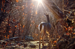 Her Majesty (Jeka World Photography) Tags: light sun leaves animal rocks path wildlife doe deer sunburst arkansas whitetail hikingtrail naturephotography buffaloriver arkansaswildlife buffaloriverarea centerpointtrail jekaworldphotography jeffrosephotography dailynaturetnc12 photoofthedaynwf12 dailynaturetnc13 thrilltnc