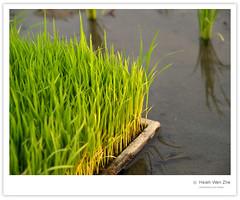還未插秧的水稻 (Ache_Hsieh) Tags: travel rice taiwan olympus farmland 彰化 zhanghua e500 zd 1454mm2835