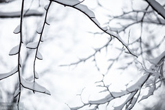 Snow vines (dina bennett) Tags: trees winter white snow storm nature forest sticks woods branches twigs snowcovered winterbeauty