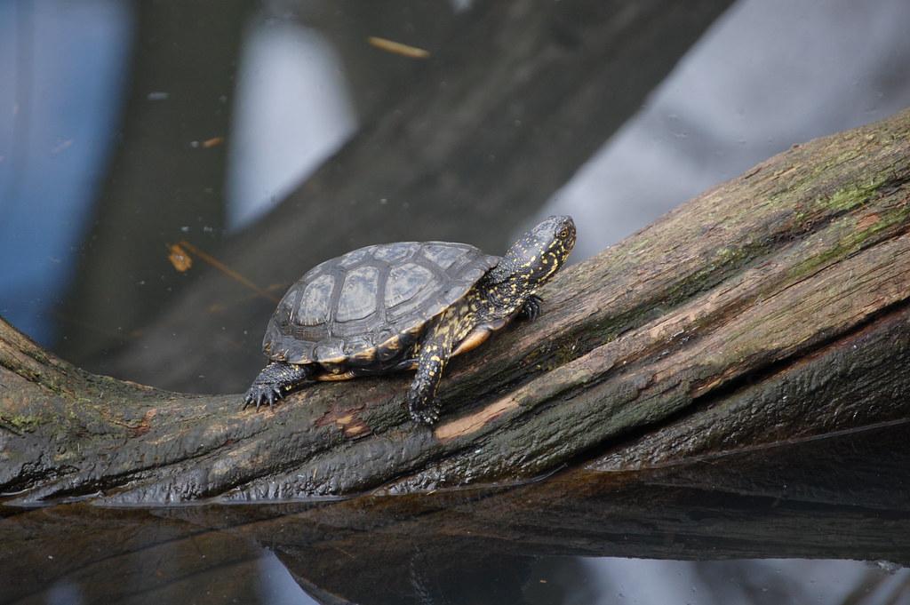 European Pond Turtle - Twycross Zoo