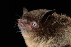 Murcielago / Black Myotis