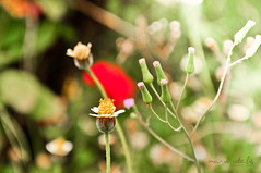 Wishing Flower (marvilavigne) Tags: flower nature wishingflower