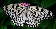 537e a peek of pink (jjjj56cp) Tags: blackandwhite butterfly insect cincinnati ngc oh mariposa schmetterling krohnconservatory farfalle paperkite wingsofharmony jennypansing