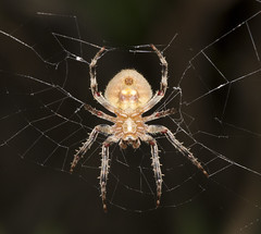 Night shot spider! Explored 10 march 2013. (Jam and Jonny) Tags: macro closeup night spider philippines under stomach belly cebu beneath