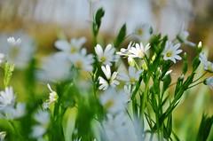 Softly (Tinina67) Tags: light white flower green garden licht spring soft tina blume weiss garten fruehling odc weich ourdailychallenge tinina67
