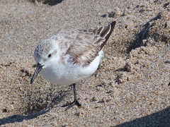 Delray Beach (bunnygoth) Tags: bird beach florida sandpiper delray 2013