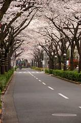 Sakura are in full bloom (Yoshikazu TAKADA) Tags: japan tokyo trafficlight cherryblossom sakura katsushika fullbloom sakurastreet sigma18250mm d5100 tateish