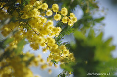 Mimosa #2 (bluehazyjunem) Tags: march ange mimosa mid keio handhold tamron70300 2013