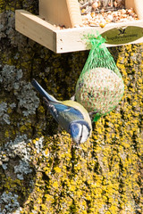 Koolmeesje (Thomas van de Vosse) Tags: blue bird yellow backyard blauw tit feeding birdfeeder geel eten vogel koolmees