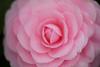 Echoes of Pink Whispers (moaan) Tags: life flower zeiss t flora dof bokeh 100mm kobe utata f2 camellia ze f20 camelliajaponica 2013 inlife japanesecamellia makroplnar canoneos5dmarkiii zeissmakroplanart2100ze carlzeissmakroplanart100mmf2ze