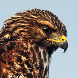 Portrait of a Red-shouldered Hawk