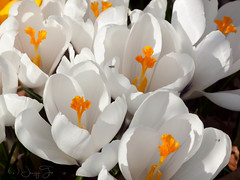 Shades of White (JacquiTnature) Tags: sunlight white nature sunshine garden march spring shadows blossoms crocus stamen bulbs blooms jacquit