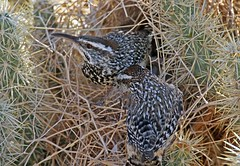 Cactus Wrens (Ron Wolf (...detests this new design...)) Tags: redrockcanyon california bird nature desert nest wildlife nesting cactuswren campylorhynchusbrunneicapillus troglodytidae slbnesting