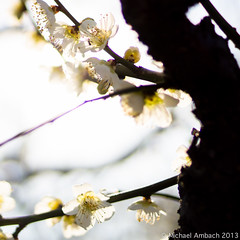 boom bam! (Mike Ambach) Tags: trees nature japan spring plumblossoms itamae mikeambachphotography