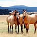 Arizona Horses