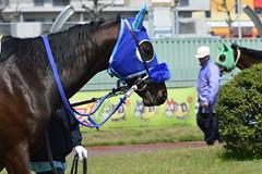 20130405-_DSC5282 (Fomal Haut) Tags: horse japan nikon nagoya 80400mm d4   14teleconverter  d800e