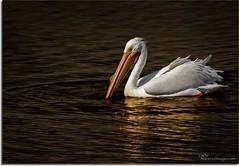On Golden Pond (JMW Natures Images) Tags: birds wildlife sanibel 100400mm professionalphotographer whitepelicans floridaimages dingdarlingnwr photoworkshops phototours phototourguide jmwnaturesimagescom audiovisualphotopresentations natureandwildlifephotographer