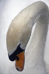 Schwan (Michael Döring) Tags: swan cygnet schwan gelsenkirchen d800 tc14eii buer bergersee michaeldöring afs300mm40d
