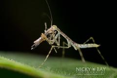 Mantis nymph (Mantodea) - DSC_9512 (nickybay) Tags: macro mantis singapore praying prey nymph durianloop