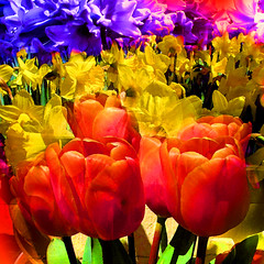Spring Beauty (brillianthues) Tags: flowers photoshop photography colorful tulips vivid daffodils hyacinths awardtree vividimagionation photmanuplation