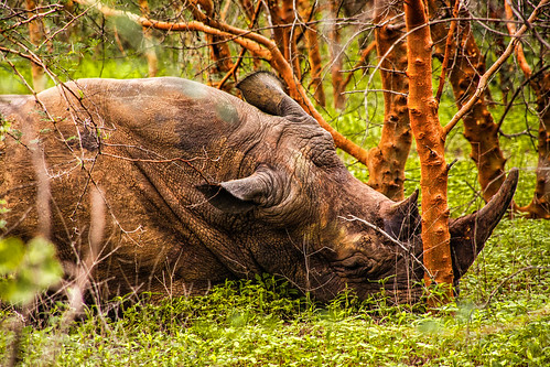 Sleeping White Rhinoceros