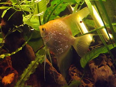 2013 01 10 1301020086 (Dragonrat1) Tags: fish angel gold aquarium golden tank tropical fishes angelfish freshwater cichlid aquaria scalare pterophyllum