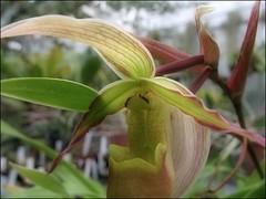 (Tölgyesi Kata) Tags: phragmipediumlongifolium orchid orchidea greenhouse üvegház withcanonpowershota620 füvészkert botanikuskert botanicalgarden budapest flower fleur virág zöld