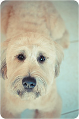 Dexter (syzygial) Tags: wheatenterrier dexter wheaten softcoatedwheatenterrier doggrooming dsc0282