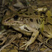 Lithobates sphenocephalus utricularus - Southern Leopard Frog