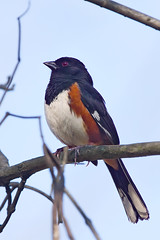 Eastern Towhee (Bill7870) Tags: bird nature canon nj towhee easterntowhee canon7d canon400mmdof4