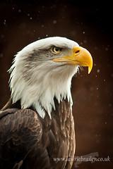Symbolism (LawrieBrailey) Tags: uk macro bird female nikon eagle hawk 14 bald tc prey teleconverter conservancy f40 105mm lawrie d90 brailey tciie