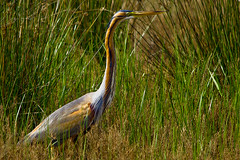 Agr roig / Purple Heron (SBA73) Tags: bird heron animal duck au catalonia ardea ave pato catalunya pajaro llobregat garza aiguamolls purpleheron ardeapurpurea ocell parcnatural anec deltadelllobregat garzaimperial agrroig purpurreiher hronpourpr maresma lesfilipines