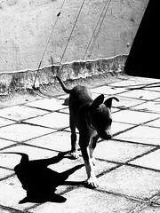My dog/$ (unegziste) Tags: pets dogs animals streetdogs shade shadow bw blanco negro lasombra quiltro elperro belgrade grey gris crnobelo prieto hund schwarz cane