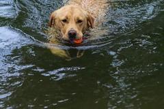 Labrador (frankshepherd2) Tags: dogs retrierver labradorretriever swim splash riverbank riverside water animal pet dog rural essex suffolk river labrador frankshepherd